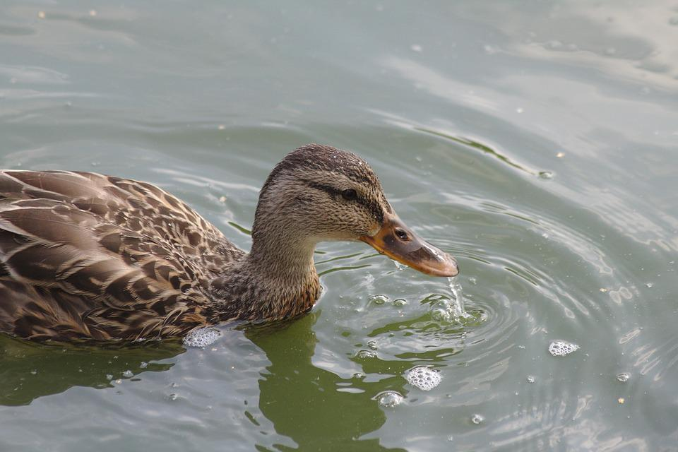 Duck, Pond, Lake, Swannery, Casting, Park, City Park
