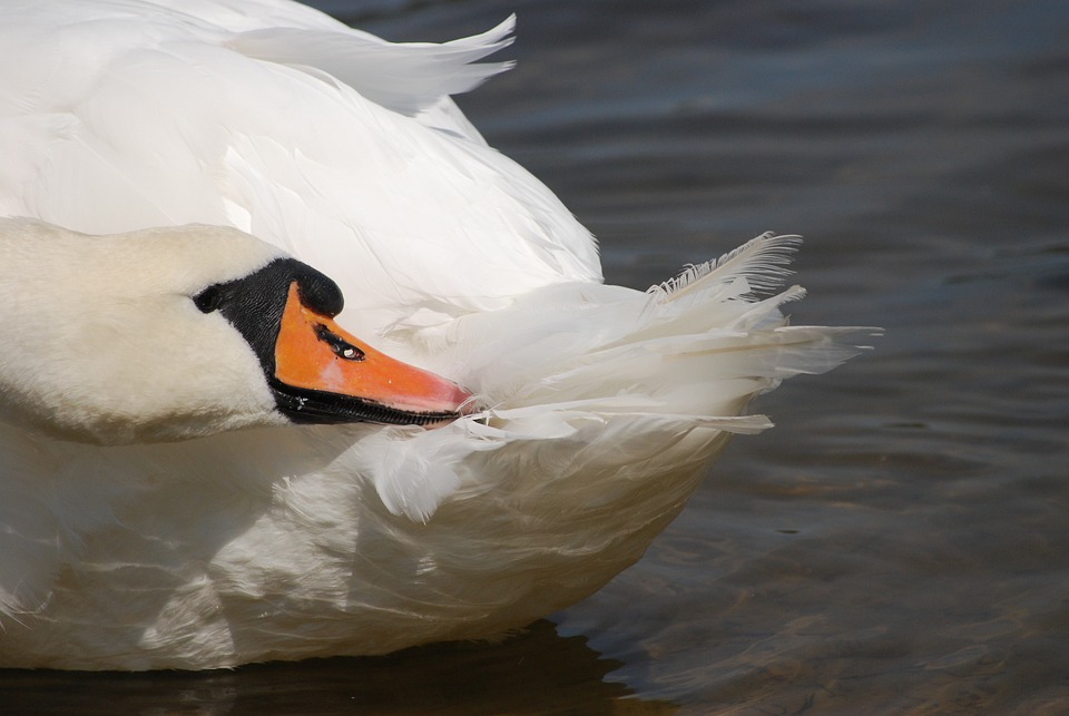 Swan, Bird, The Head Of The, Closeup, The Nose, Lake