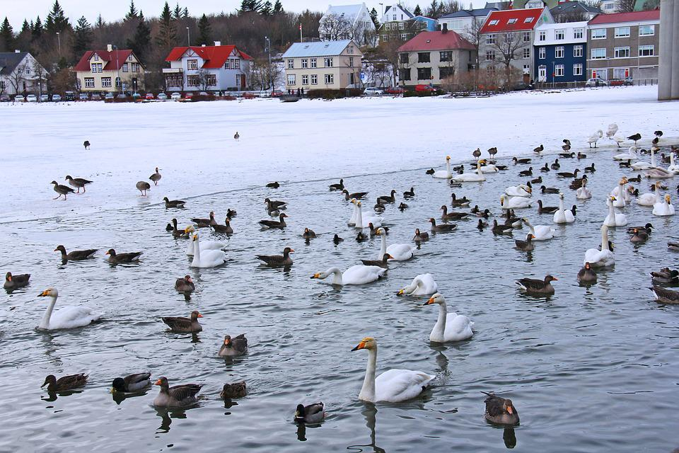Pond, Lake, Swans, Ducks, Geese, Cold, Ice, Winter