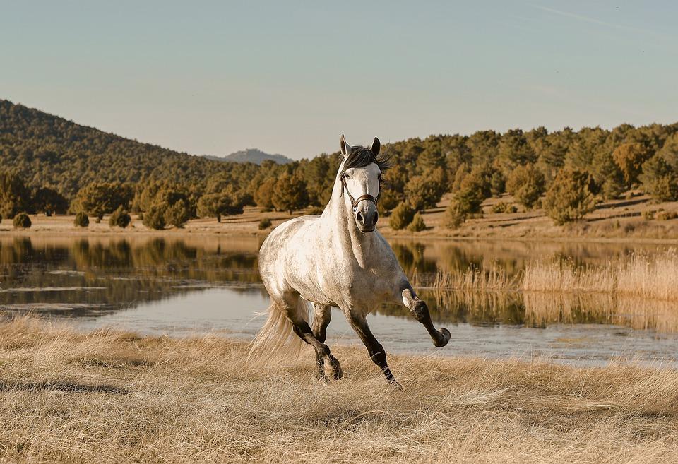 Horse, Gallop, Field, Lake, Run, Colt, Animal, Mammal