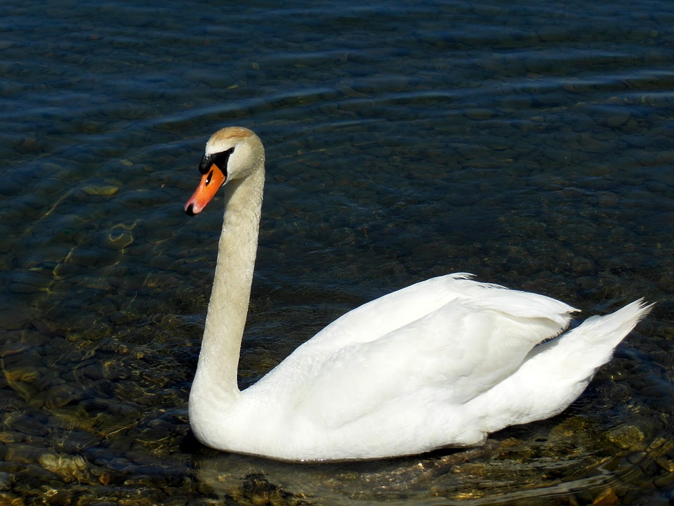 Swan, Lake Constance, Water, Stones, Water Bird, Mood