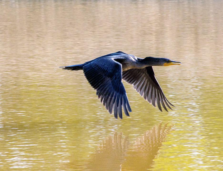 Cormorant, Flying, Lake