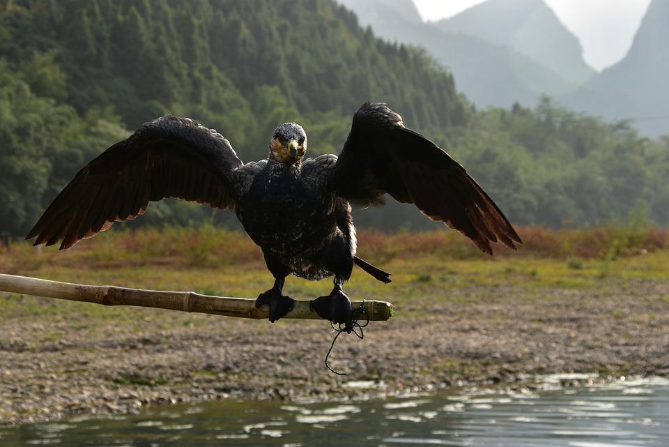 Nature, Water, Lake, Outdoors, Bird, Cormorant
