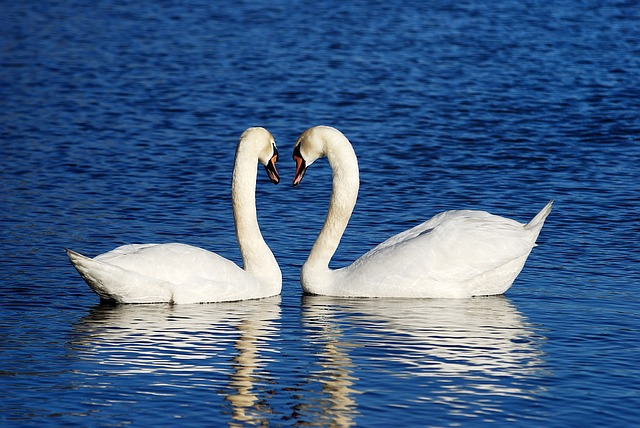 Swans, Couple, Love, Background Images, Water, Lake