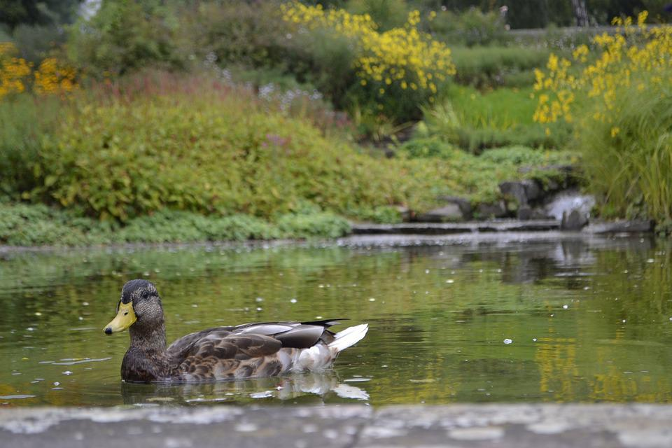 Duck, Pond, Lake, Park, Bird