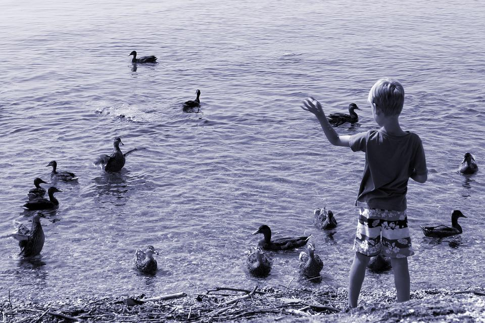 Ducks, Child, Feed, Boy, Waters, Water, Animal, Lake
