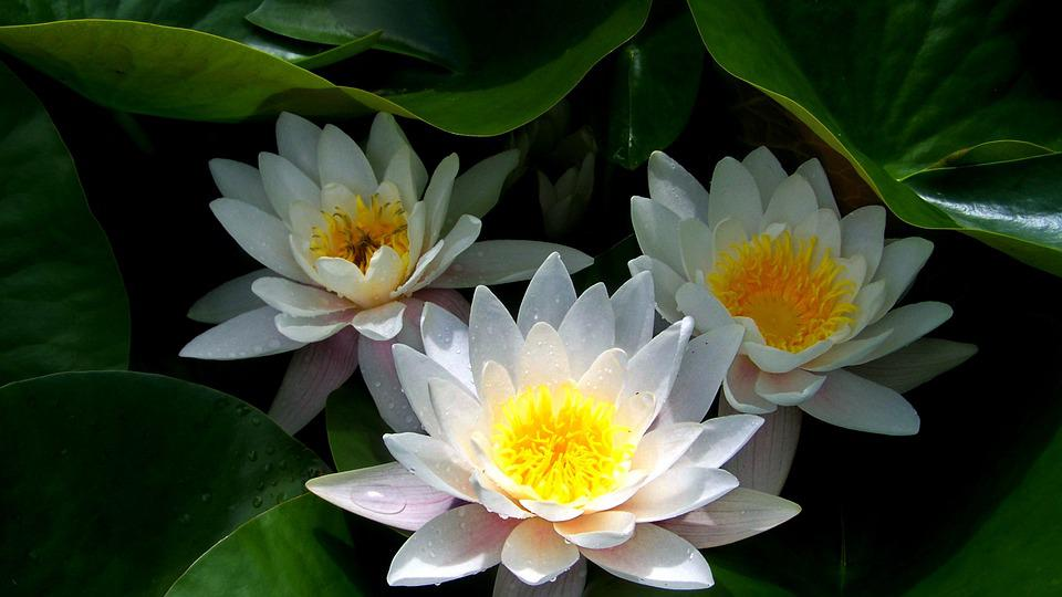 Lake Rose, Fairy Rose, Lake, Nature, White