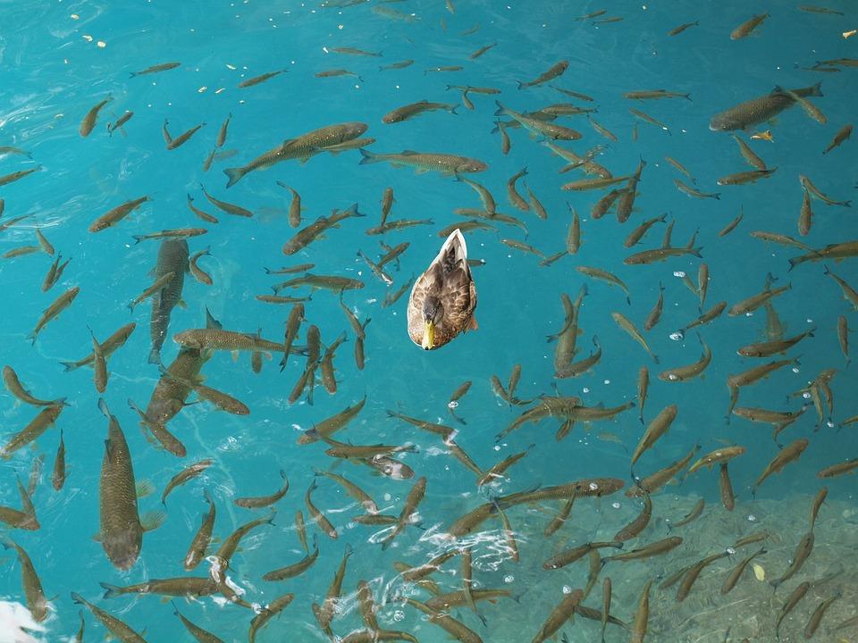 Duck, Fish, Lake, Croatia, Fauna, Water