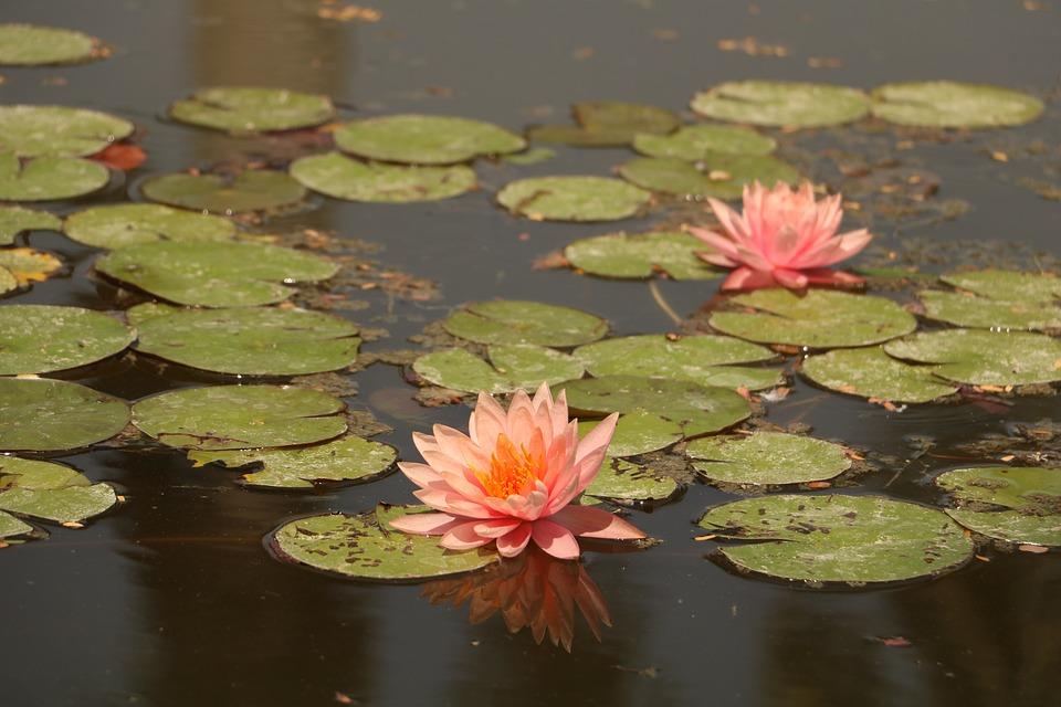 Pool, Lotus, Lily, Aquatic, Lake, Water, Floating