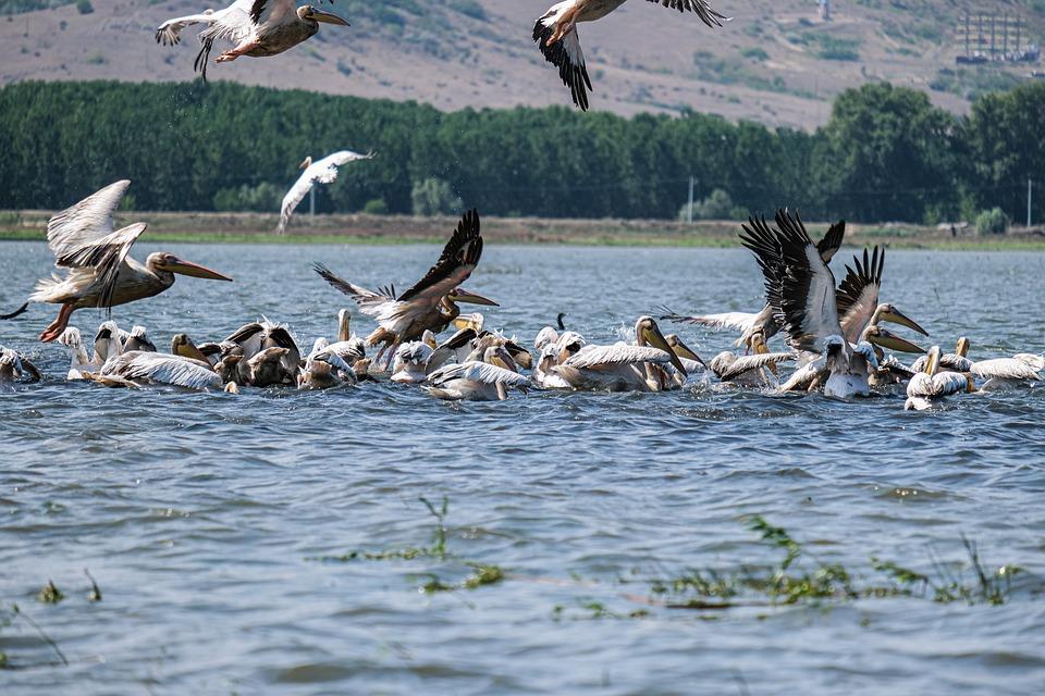 Pelicans, Birds, Flock, Hunting, Lake, Birdwatching