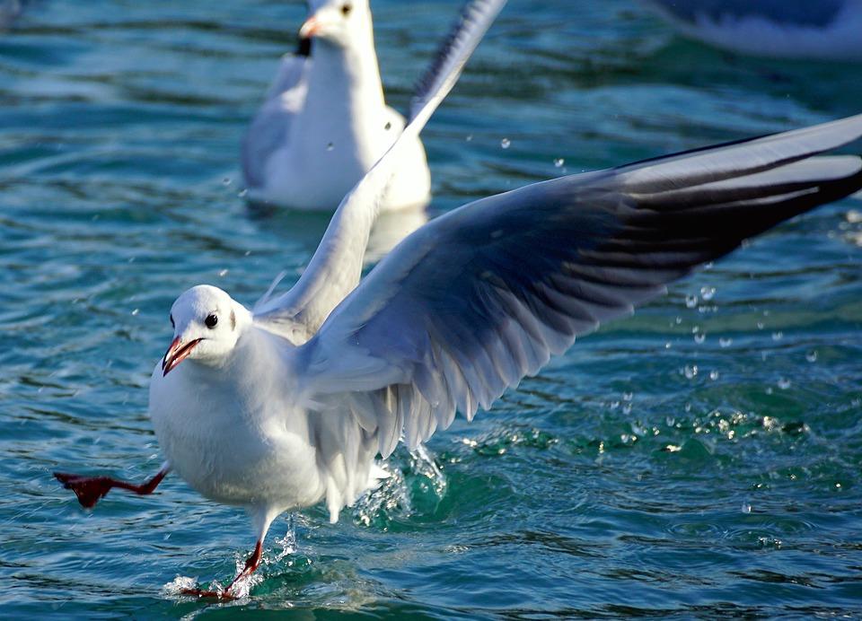 Gull, Lake, Bird, Water, Fly, Bill, Birds, Close