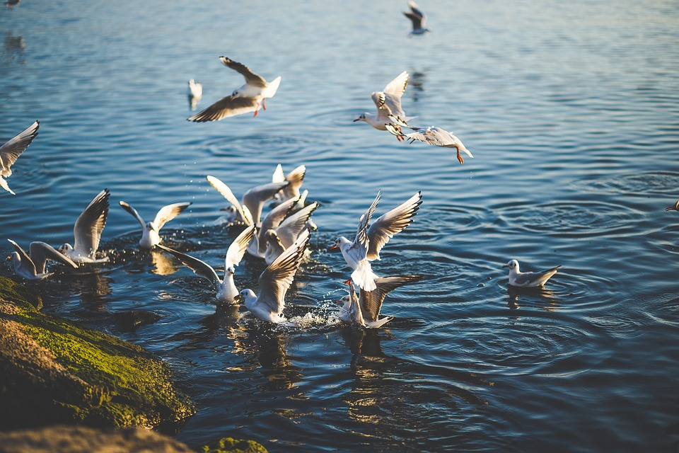 Animal, Birds, Fly, Gulls, Lake, Nature, Outdoors
