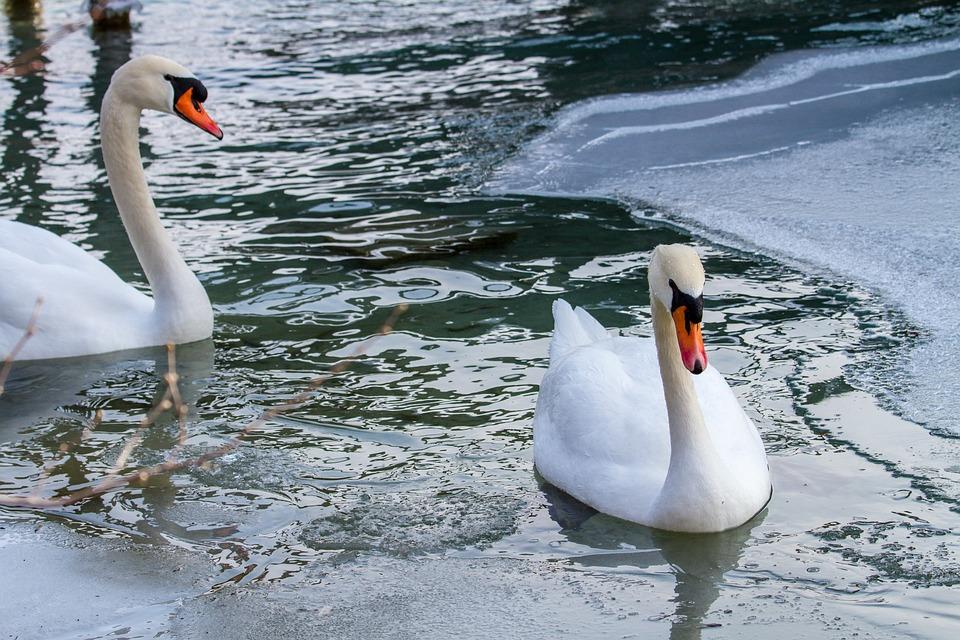 Swan, Lake, Ice, Animal World, Ice Rink, Frozen