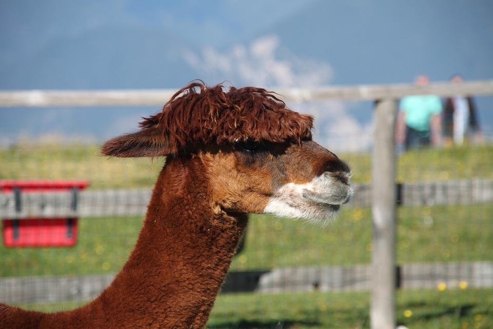 Alpaka, Animal, Monte Baldo, Lake Garda, Lana