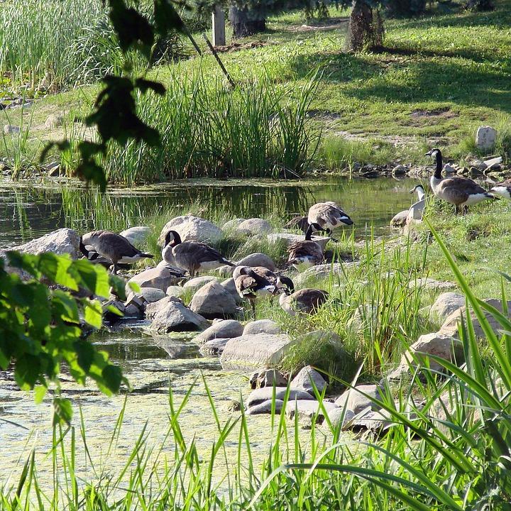 Gaggle, Nature, Geese, Lake, Summer, Group, Goose