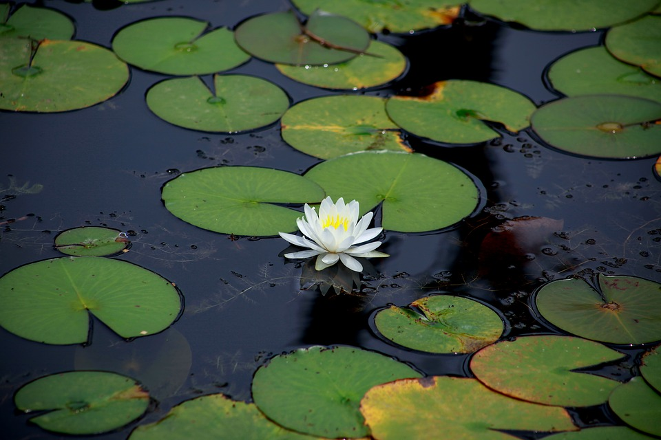 Lotus, Aquatic, Lily, Lake, Water Lilies, Pond