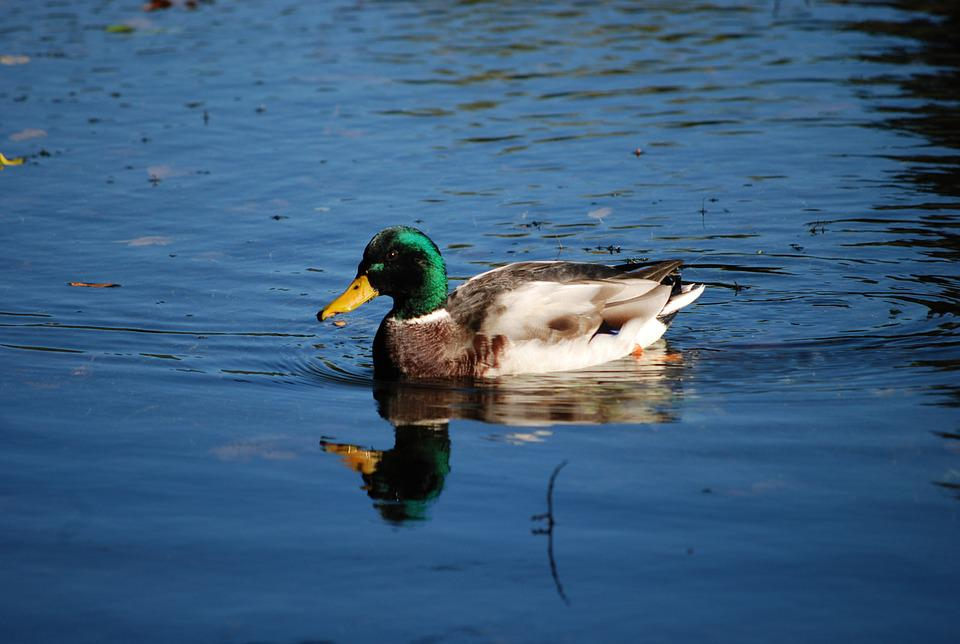 Duck, Mallard, Male, Waters, Drake, Lake