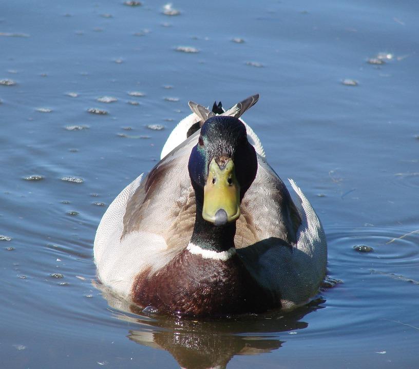 Mallard, Sitting, Relaxing, Lake, Water, Nature