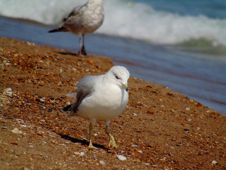 Seagull, Beach, Lake, Lake Michigan, Whiting Indiana