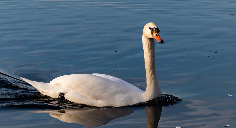 Waters, Bird, Swan, Nature, Animal World, Lake, Swim