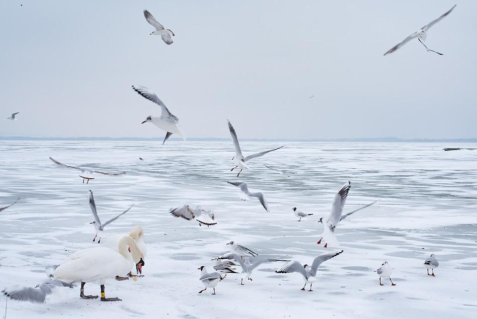 Lake Balaton, Winter, Swan, Seagull, Ice, Lake, Nature