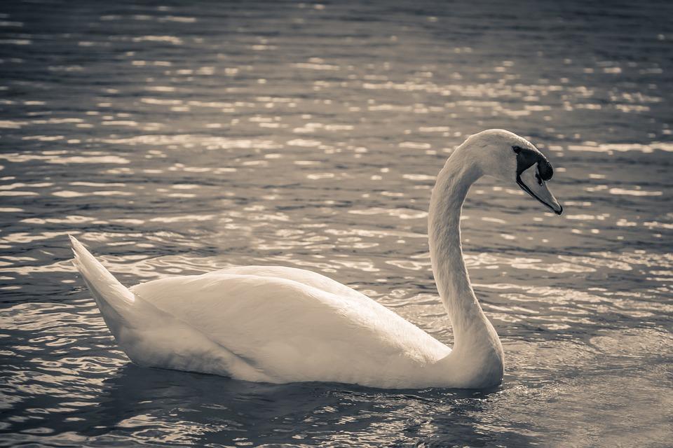 Swan, Lake Balaton, Nature, Water, Lake, Birds, Bird