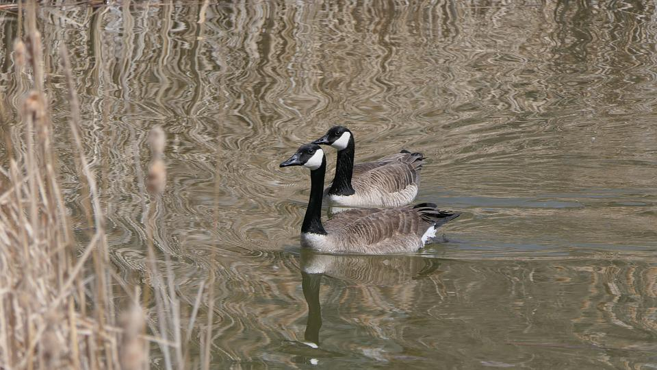 Canada Goose, Waterfowl, Lake, Bull Rushes, Park