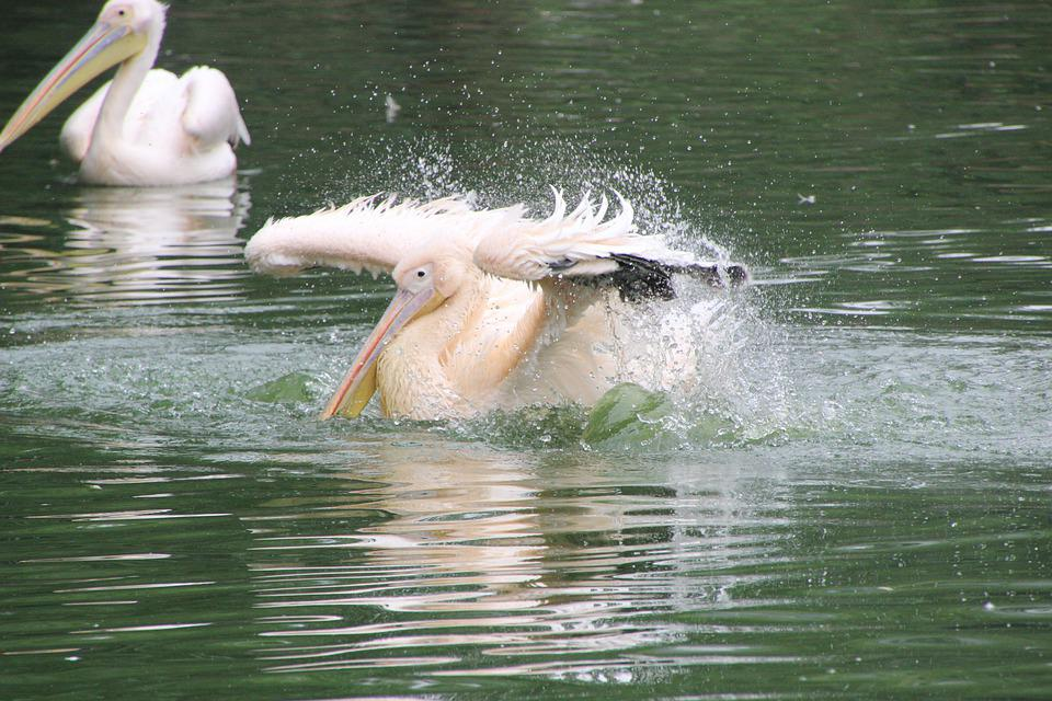 Pelicans, Birds, Lake, Water Birds, Aquatic Birds
