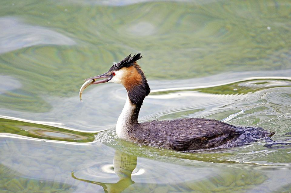 Great Crested Grebe, Fish, Lake, Podiceps Cristatus