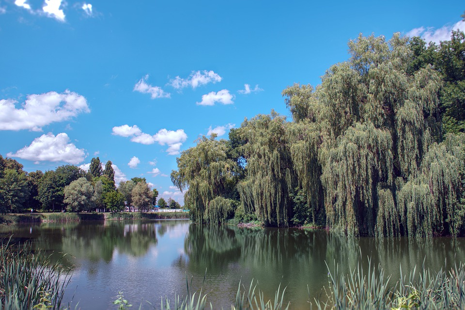Lake, Willow, Water, Pond, Green, Reflection