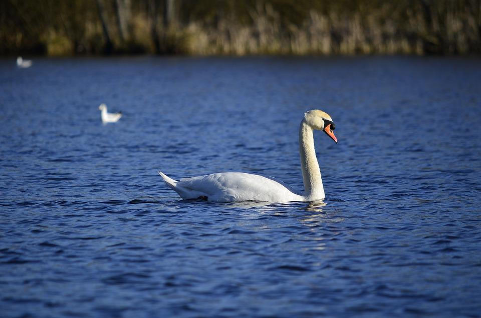 Swan, Lake, Radunskie