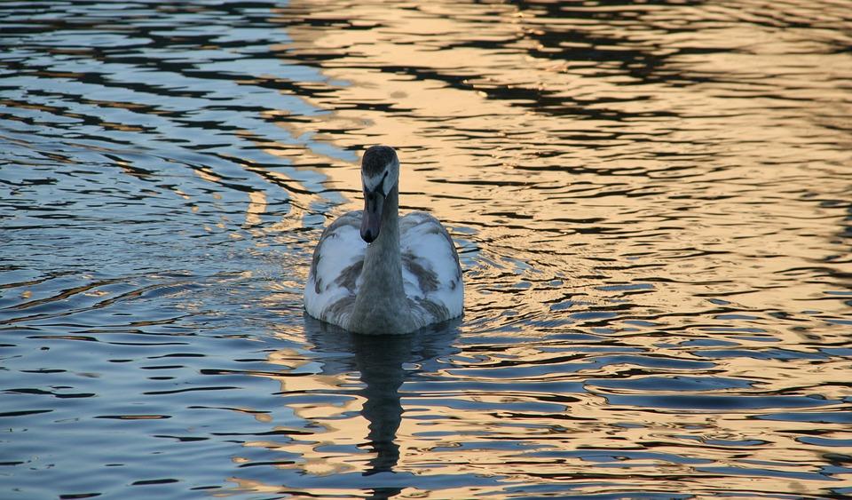 Waters, Lake, Bird, Duck, Reflection, Swan, Lahn, River
