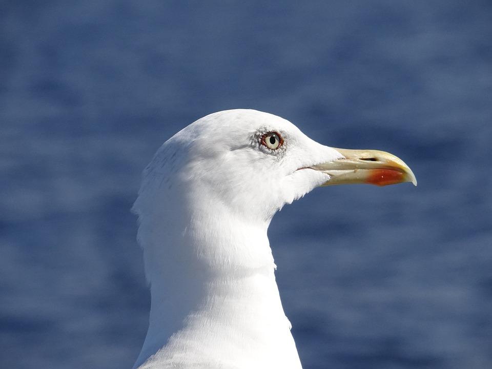 Seagull, Lake, Bird, Waterfowl, Seagulls, Close