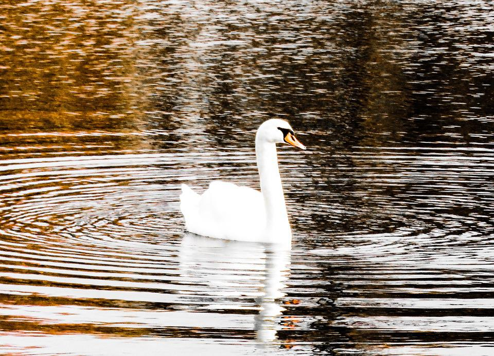 Swan, Lake, Water, Sparkle, Reflection