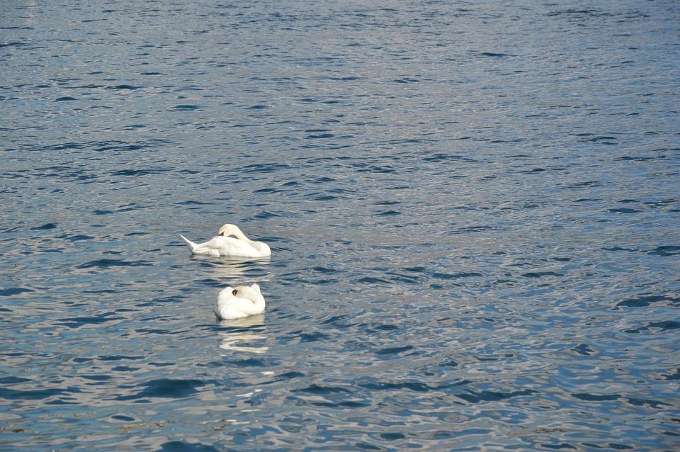 Swan, Lake, Swimming