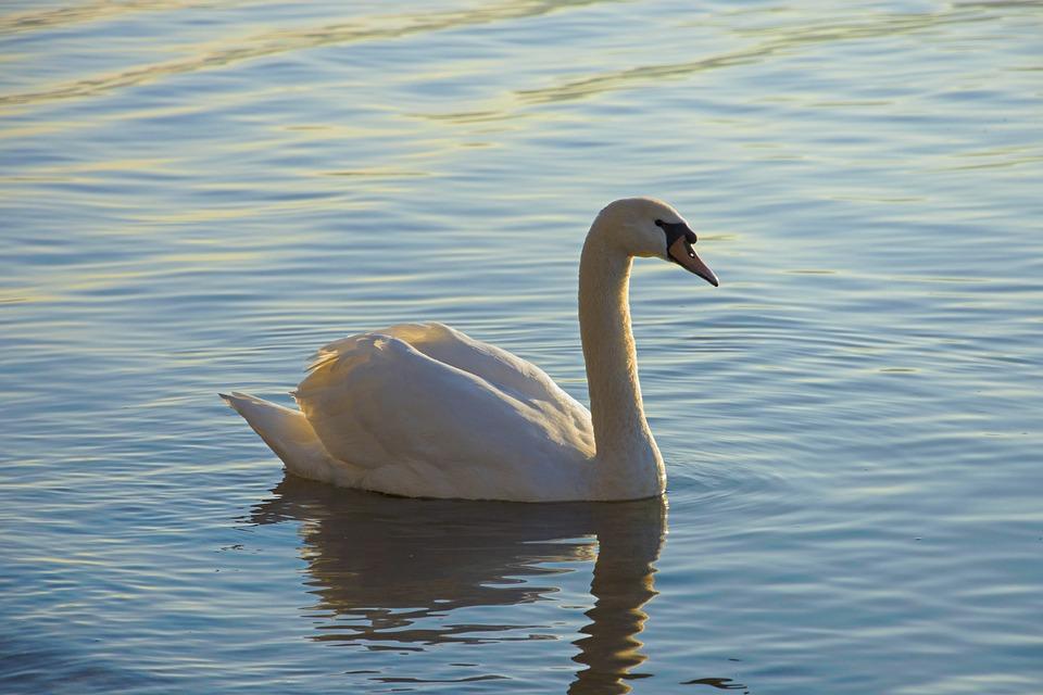 Swan, Lake, Waterfowl, Water, Animal World, Waters