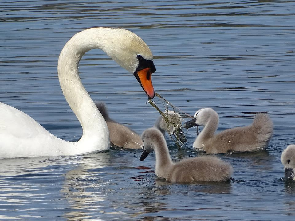 Swans, Family Of Swans, Lake
