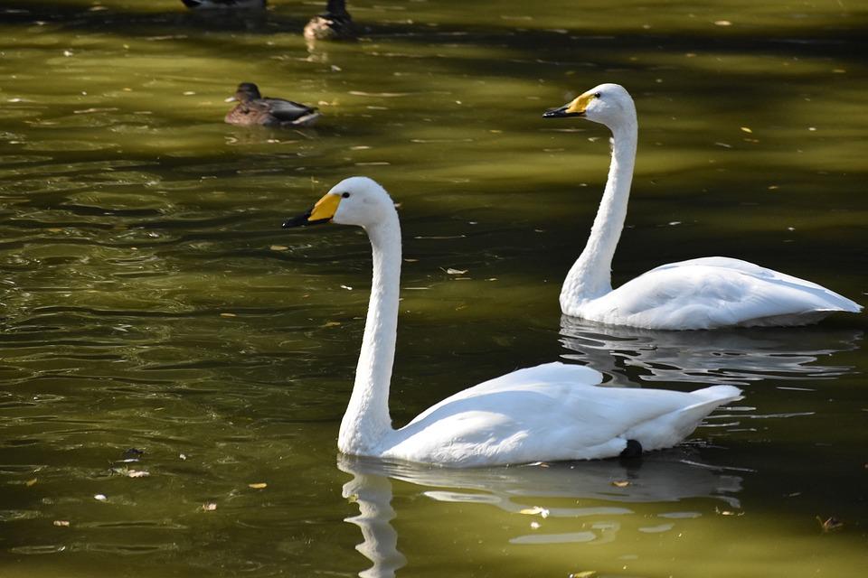 Swans, Couple, Lake, Bird, Love, However, Fine, Unity