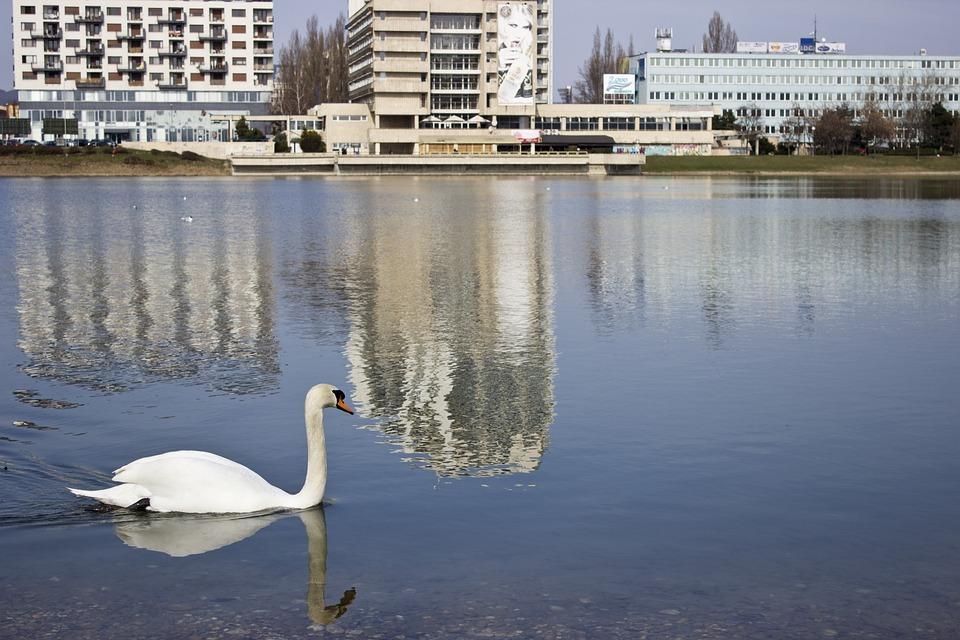 Swan, Lake, City, Pond, Reflection, Urban
