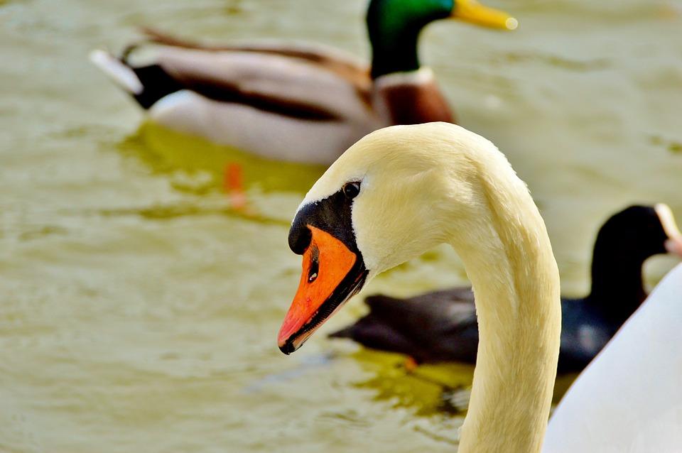 Swan, Bird, Water Bird, Water, Lake, Schwimmvogel