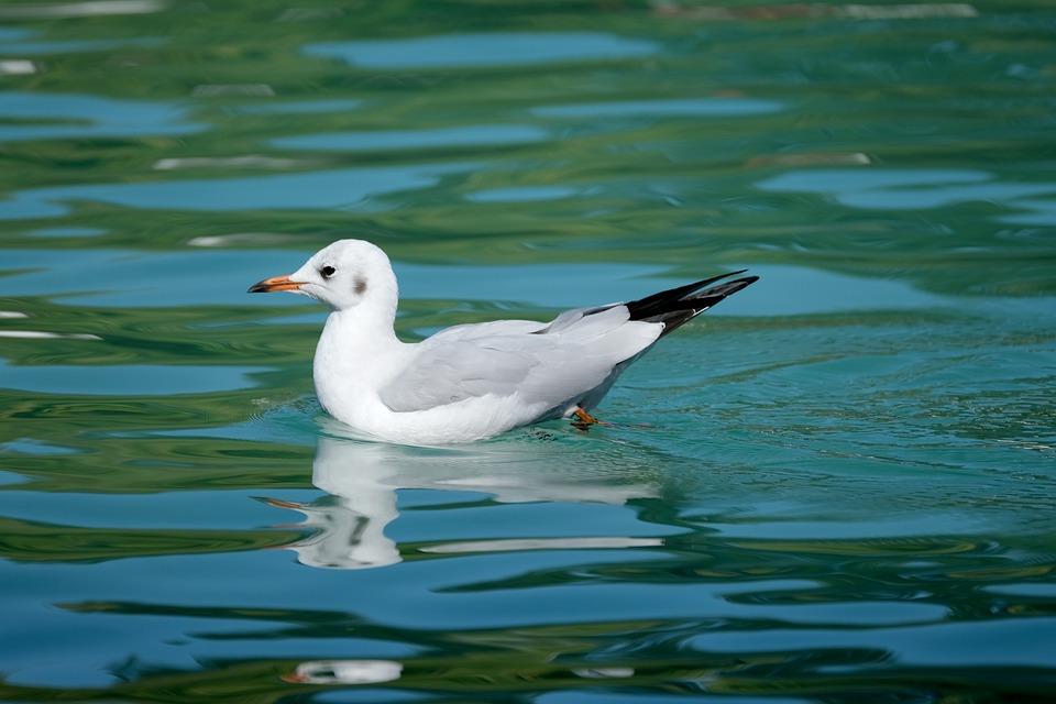 Seagull, Bird, Lake, Black Headed Gull, Water Bird
