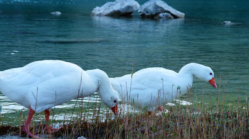 Ducks, Lake, Couple, Water, Nature, Bird, Blue, Animal