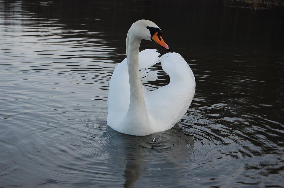 Water, Lake, Bird, Pond, Swan, Reflection, Nature