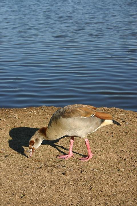 Lake, Waterfowl, Nature
