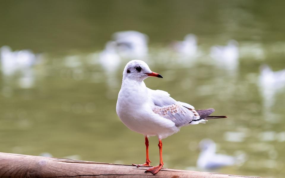 Seagull, Dove, Bird, Lake, Beak, Ali, White, Fauna