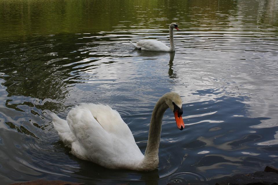 Swan, White, Lake