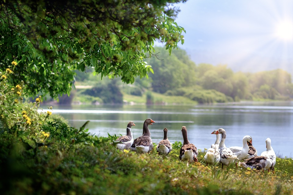 Wild Geese, Lake, Countryside, Sun, Country, Birds
