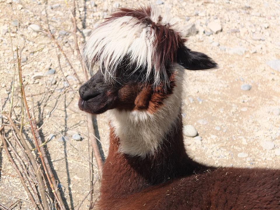 Lama, Alpaca, Hair, Head, Fluffy, Animal World