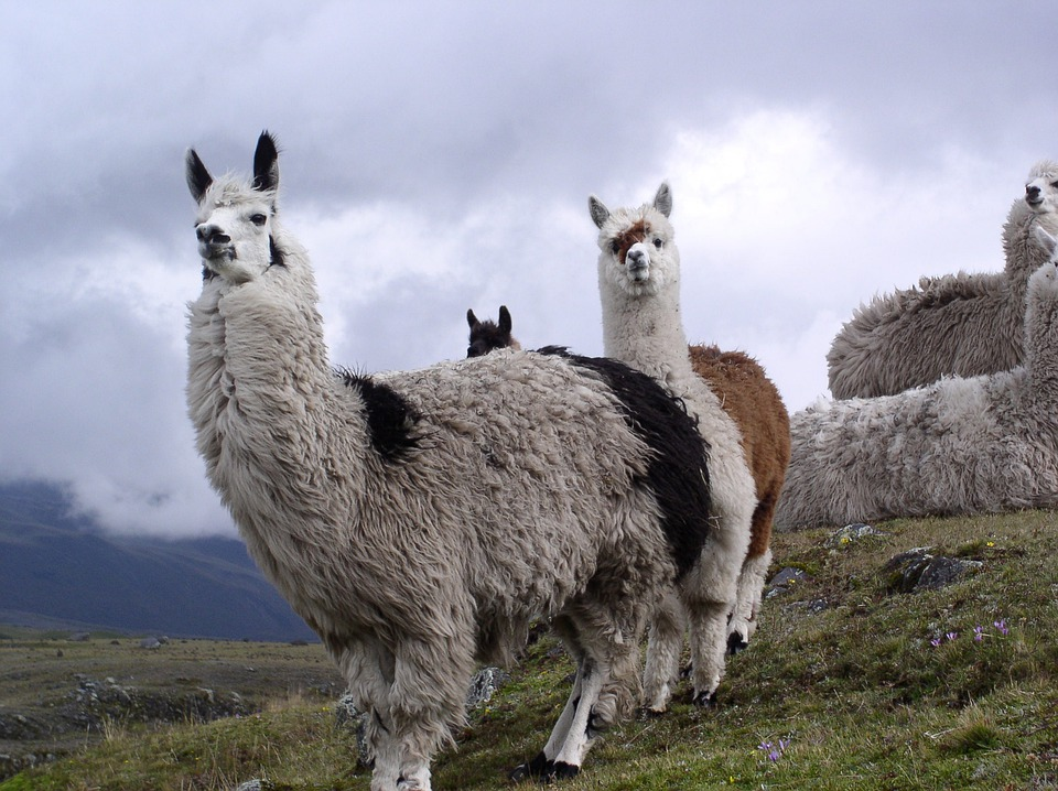 Lama, Ecuador, Cotopaxi, Natural National Park
