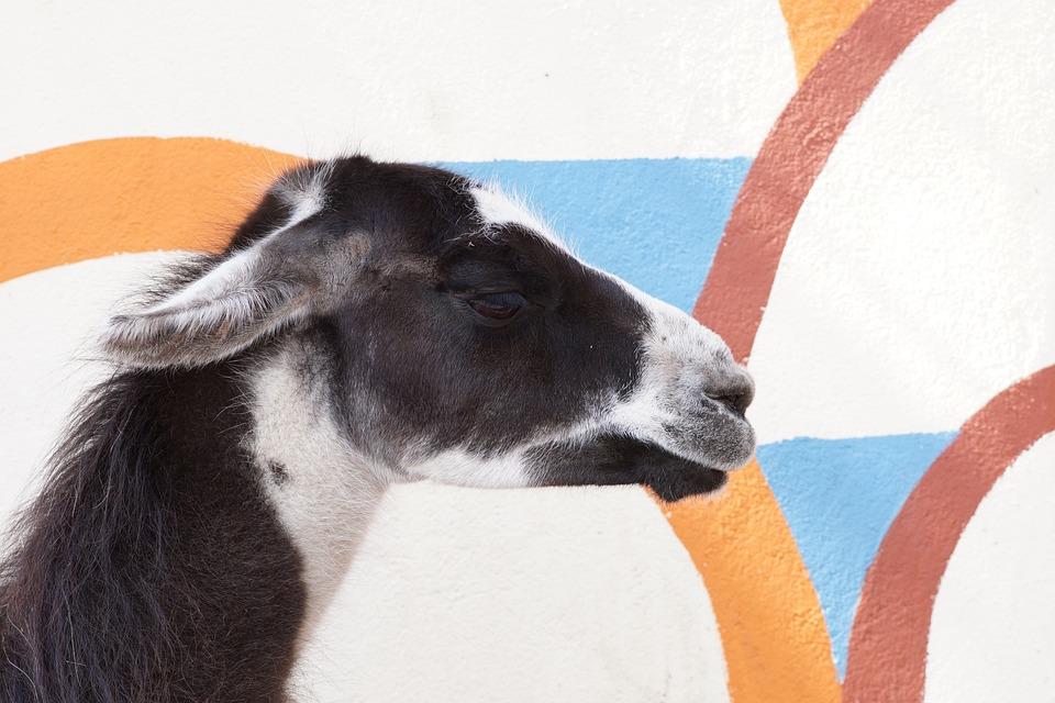 Lama, Head, Testicular Hagen, Safari, Pattern